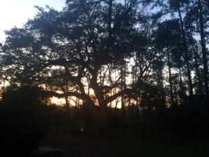 oak use